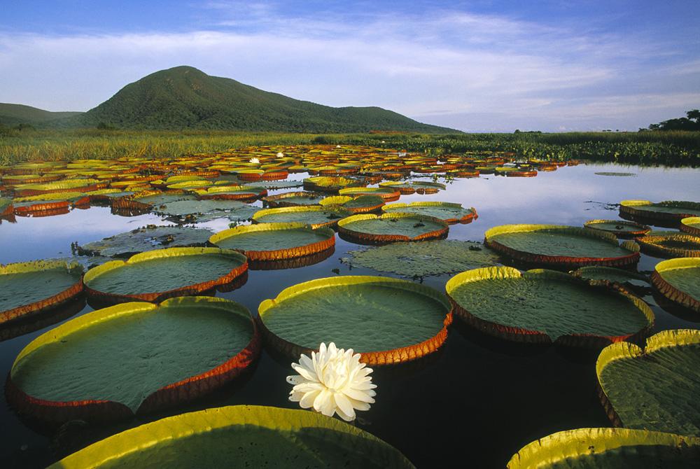 Kelionė į Braziliją (egzotinės kelionės) Victoria Regia Water Lily and Lily Pads