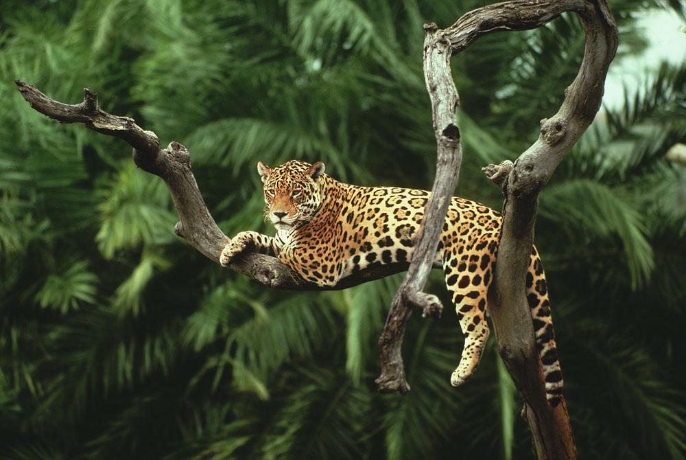 Kelionė į Braziliją (egzotinės kelionės) Jaguar in a tree, Brazil
